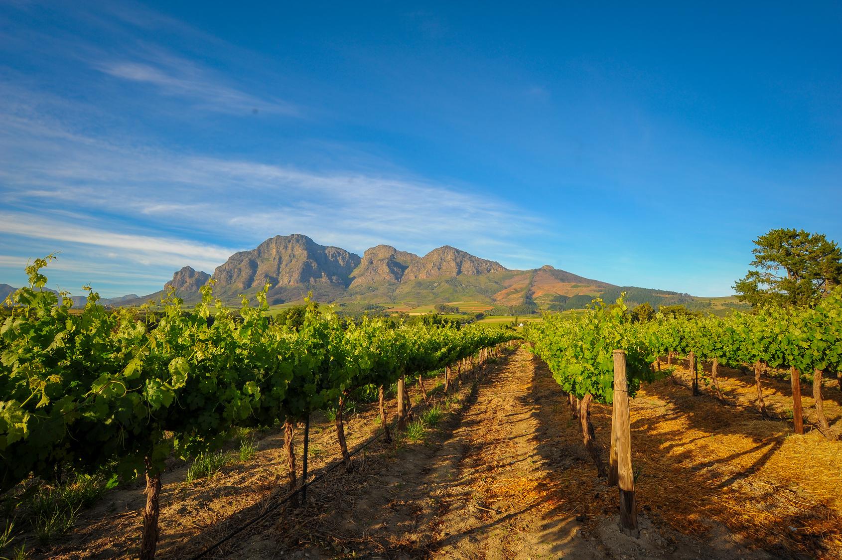 Weinreben in Südafrika vor strahlend blauem Himmel
