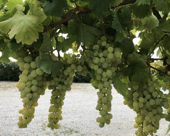 Weintrauben aus der Weinlese 2017