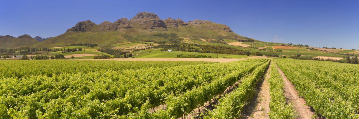 Vineyards mit Bergen im Hintergrund in der Nähe von Stellenbosch in Südafrika.