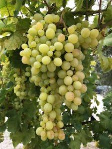 Weintrauben aus dem Jahrgang 2018