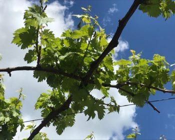 Weinreben im Weinberg unter blauem Himmel